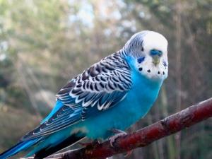 blue_parakeet_by_midoriakaryu-d67kcj5